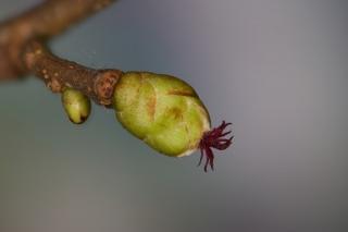 Gemeine Hasel (Corylus avellana) - weiblicher Blütenstand