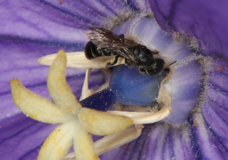 Großblütige Ballonblume (Platycodon grandiflorus)  mit Scherenbiene