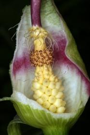 Aronstab (Arum maculatum)   - aufgeschnittene Blüte