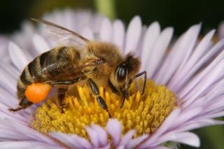 Herbstaster (Symphyotrichum spec.) - Blütenstand mit Honigbiene