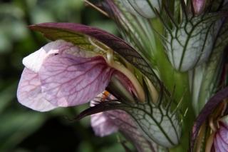Ungarischer Akanthus (Acanthus hungaricus) - Blüte