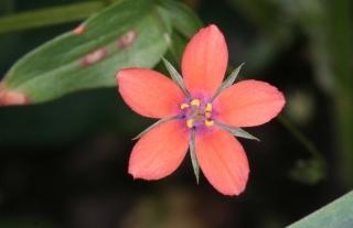 Acker-Gauchheil (Anagallis arvensis) - Blüte