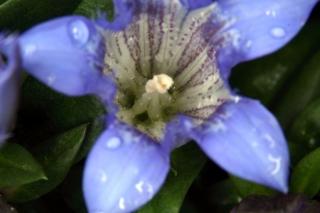 Sommerenzian (Gentiana septemfida)  - Blüte