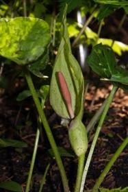 Aronstab (Arum maculatum)